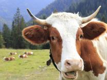 7 činjenica o kravama koje verovatno ne znate