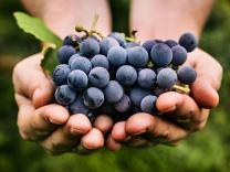 19 zanimljivih činjenica o grožđu